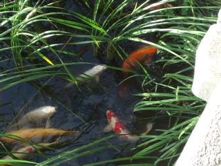 オデブな鯉があちこちに…(笑)