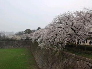 さくら咲く 大阪城だぁ〜(笑)
