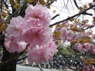 次は八重の桜