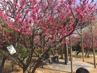 かわいく 梅が 咲いています♪